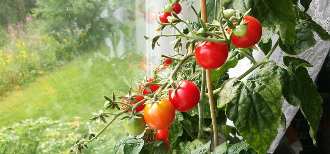 Tomatoes Indoors