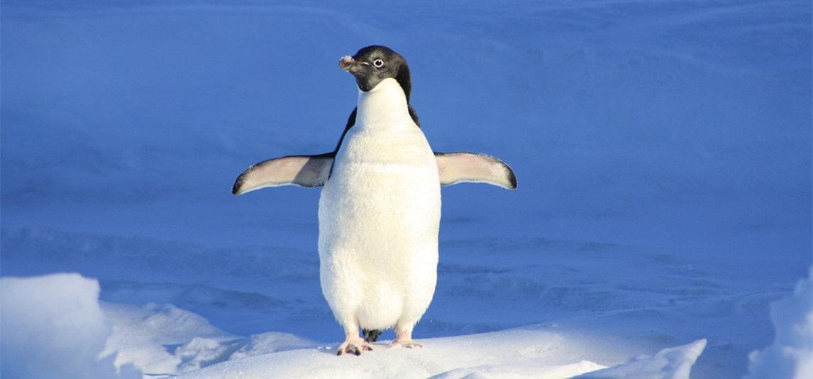 a penguin as a pet