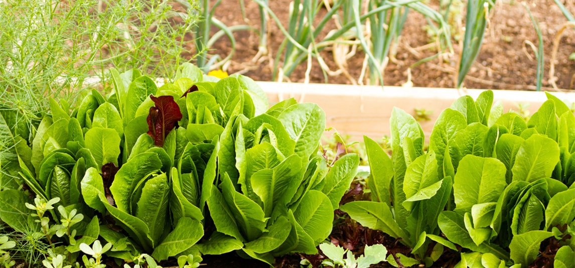 grow vegetables in garden