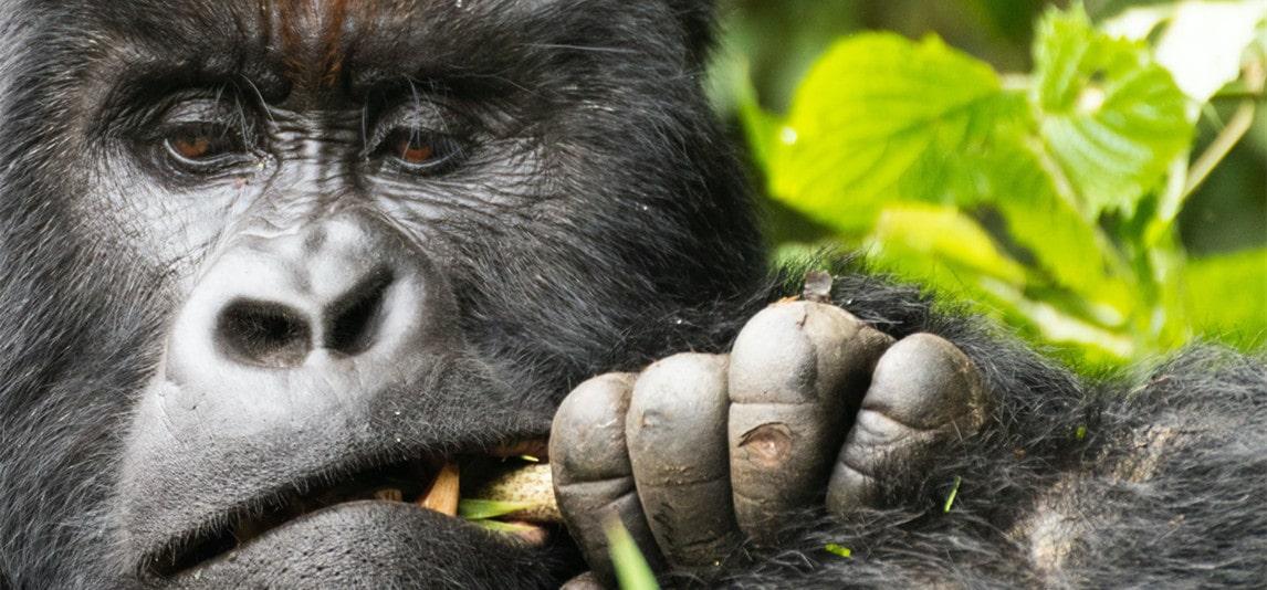 Gorilla Gut Size and Diet
