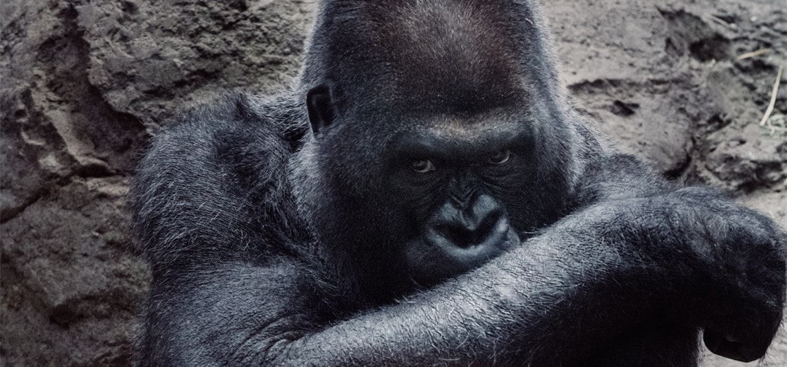 How Powerful Is a Gorilla's Punch