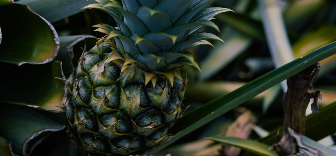 Life Cycle of a Pineapple