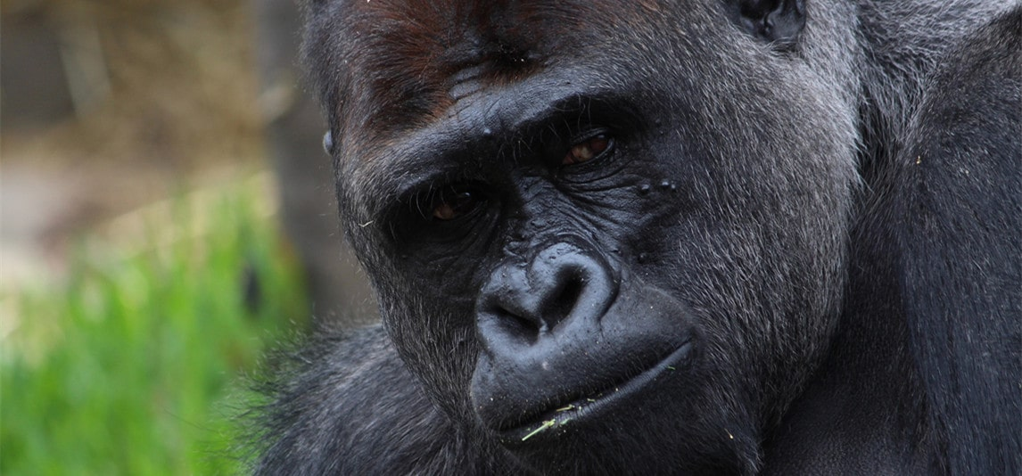 Why Are Gorillas So Strong