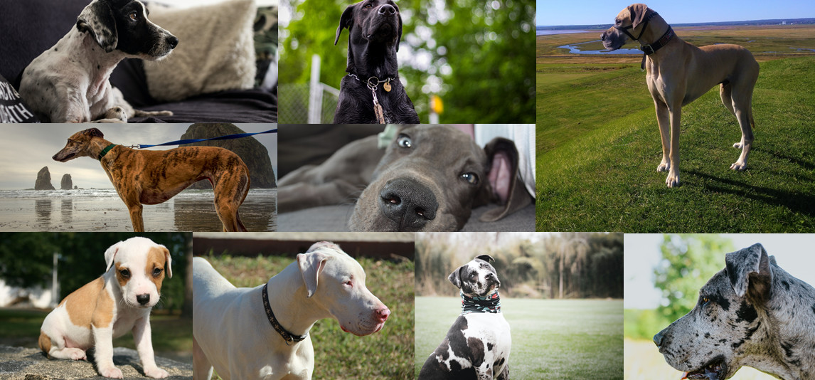 different colors of the great dane