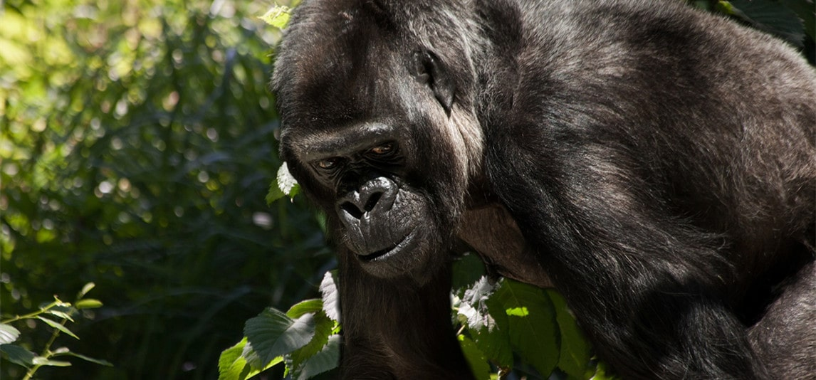 how strong are gorillas