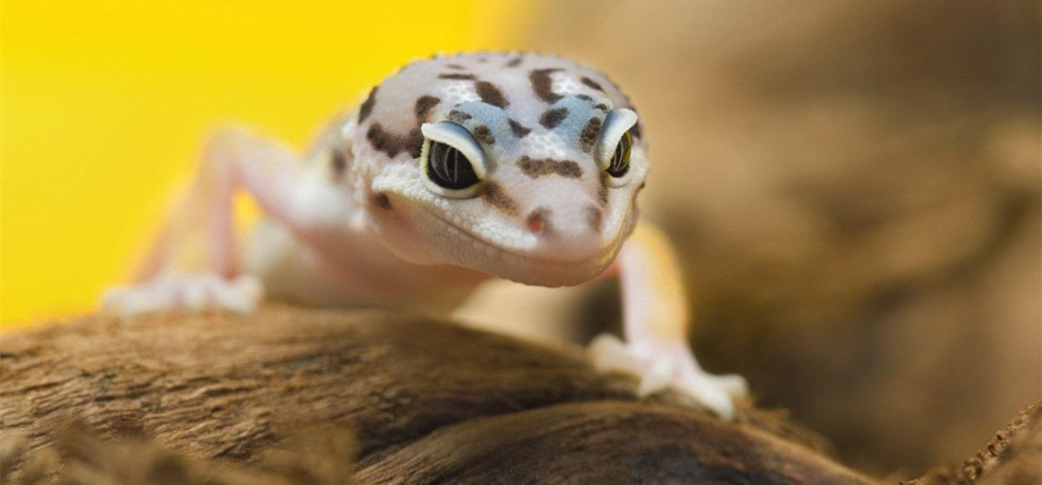 leopard gecko wonderful pets