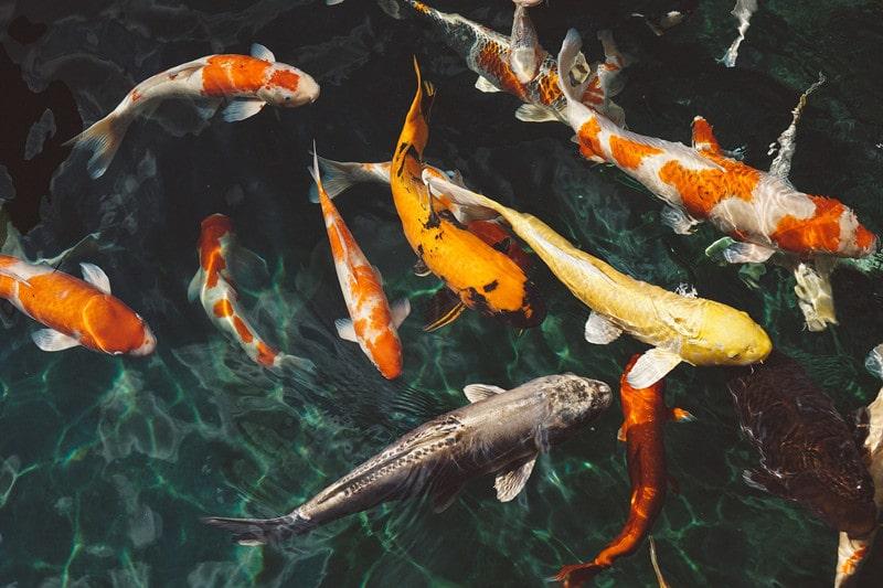 taking care of koi fish